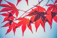 楓樹枝上的楓葉圖片_13張