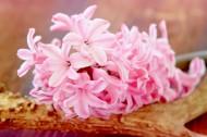 唯美粉色风信子摄影图片_17张