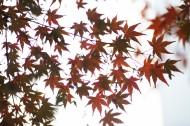 好看的楓樹樹葉圖片_12張