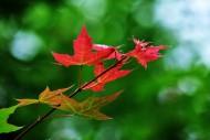 秋天萧瑟的枫叶图片_14张