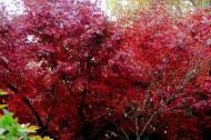 红色枫叶图片_10张