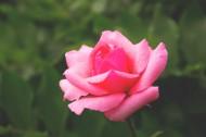 粉红的玫瑰花图片_14张