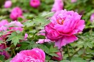 粉红牡丹花图片_10张