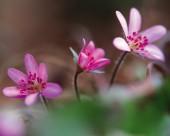 粉嫩粉嫩的野花图片_15张