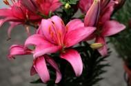 粉色的百合花圖片_15張