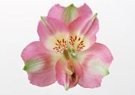 粉色花朵圖片_12張