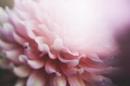 粉色的花瓣图片_10张