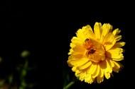 黃色的小菊花圖片_18張
