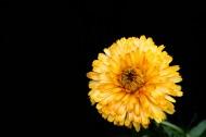黄色的小菊花图片_20张