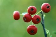 红红的火棘果图片_12张