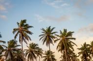 挺拔高大的椰树图片_16张