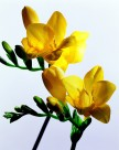 高清黃色花朵圖片_6張