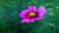 多彩的大波斯菊花卉圖片_10張