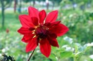 紅色嬌艷大麗花花卉圖片_14張