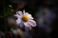 光影下的菊花图片_12张