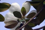 白色廣玉蘭圖片_5張