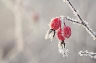 冬季挂霜红果图片_9张