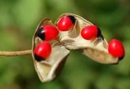 海南红豆植物图片_6张
