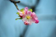 粉色海棠花图片_7张