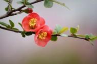 红色海棠花图片_11张