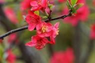 红色海棠花图片_16张