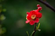 火紅的貼梗海棠圖片_10張