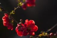 白色海棠花图片_7张
