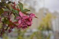 紫色海棠花图片_7张