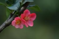玫紅色的海棠花圖片_10張