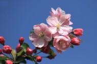 春天的海棠花图片_16张