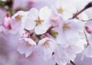 鲜艳的海棠花图片_24张
