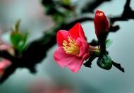 海棠花图片_19张