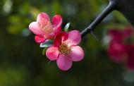 海棠花圖片_8張