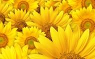 金黄色的向日葵图片_17张