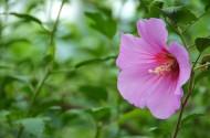粉色木槿花图片_6张