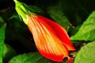 橙色木槿花图片_6张