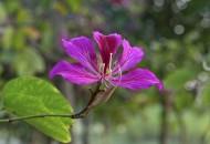 紫荊花圖片_8張