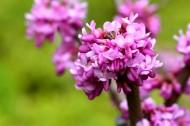 紫荆花图片_7张