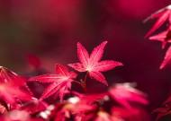 熱情如火的紅楓圖片_13張