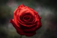 艳丽的红玫瑰图片_11张