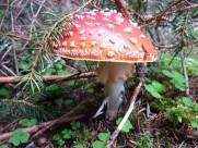 生长在地上的一只红色毒蘑菇图片_12张
