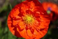 紅色罌粟花圖片_15張