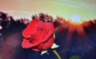 红色的玫瑰图片_16张