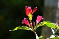 红王子锦带花图片_8张