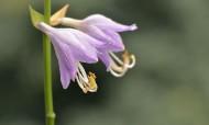 紫色的玉簪花图片_12张