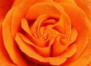 通亮的黄玫瑰图片_15张