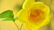 黄玫瑰图片_18张