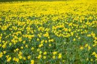 黄色水仙花图片_10张