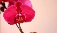 各种颜色的蝴蝶兰图片_14张