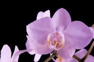 粉色蝴蝶蘭圖片_12張